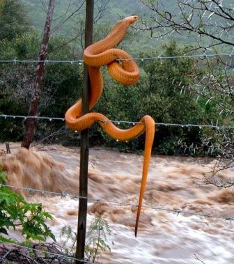 Cobra rettet sich auf den Zaun während einer Flut